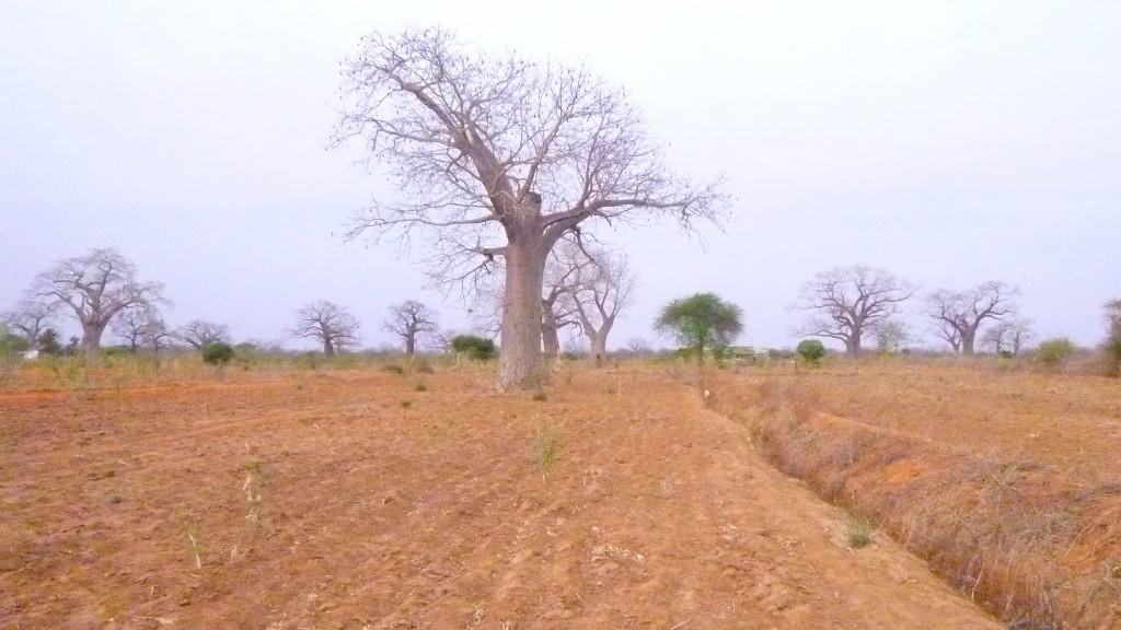 Elefantenbaum / Elefant tree